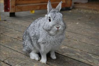 dvärgvädur kanin uppfödare skåne