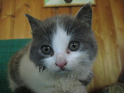 rinnande ögon katt