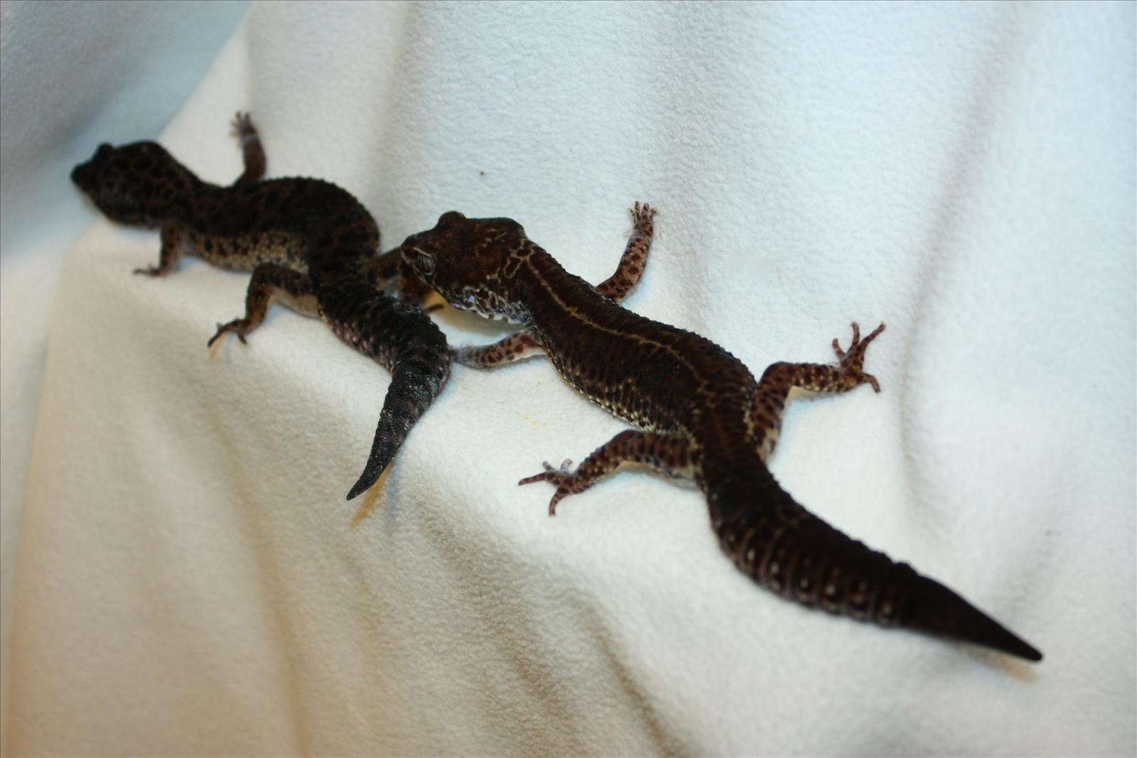 Black Pearl Leopard Gecko | Wallpapers Gallery - photo#28