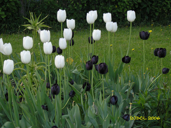 Bildresultat för svarta tulpaner