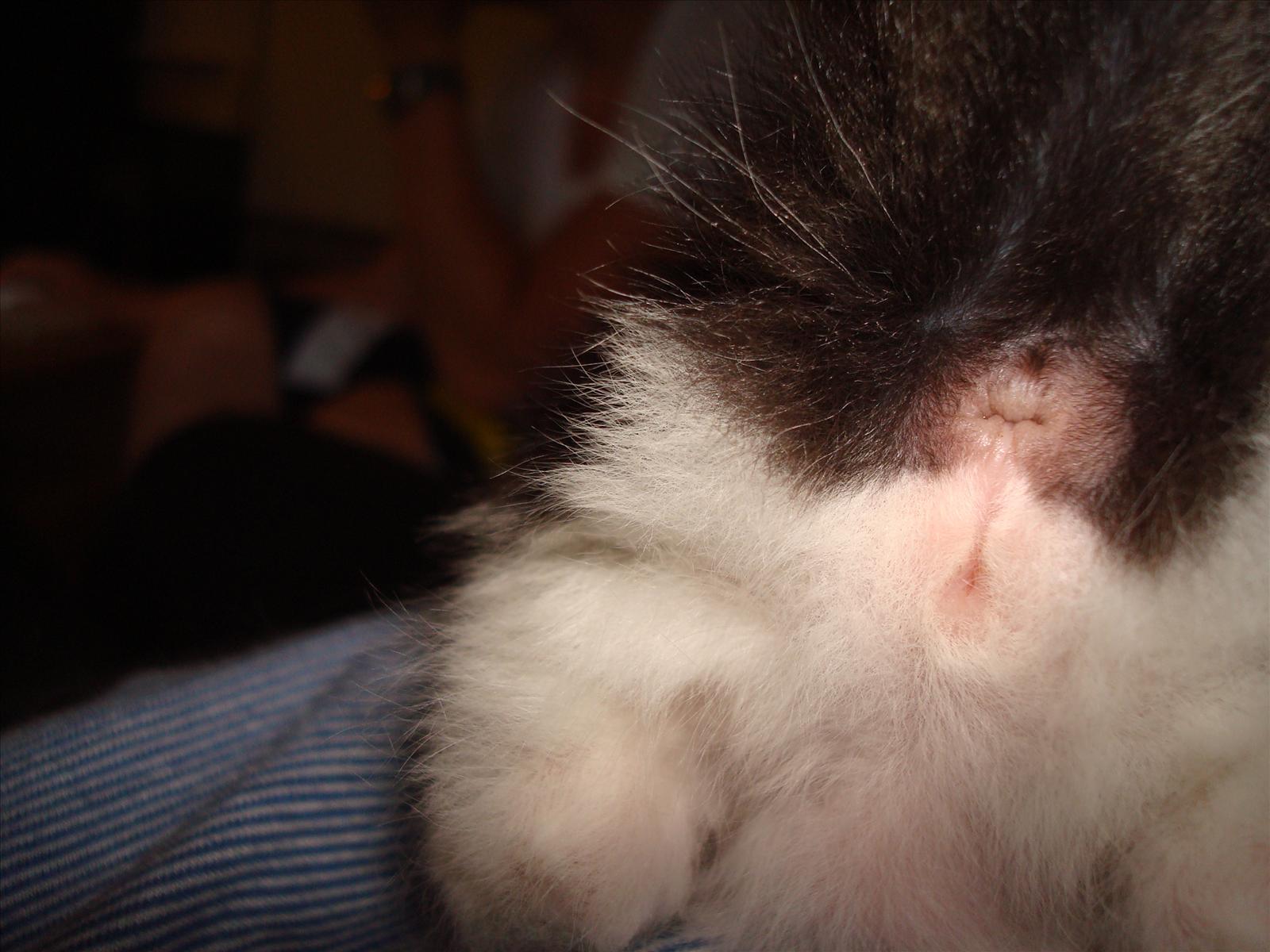 könsbestämma kattungar