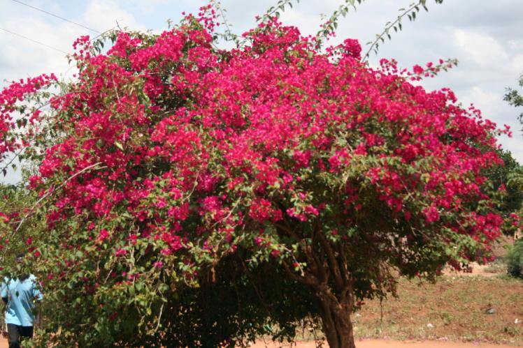 buske röda blommor