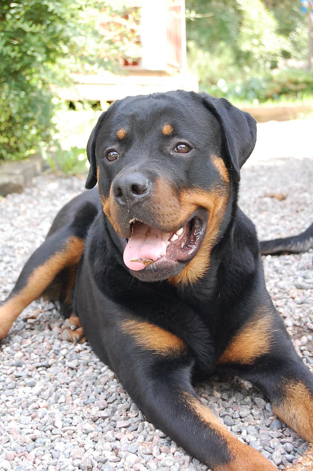 första hund ? :) - Presentationer - Hundar iFokus
