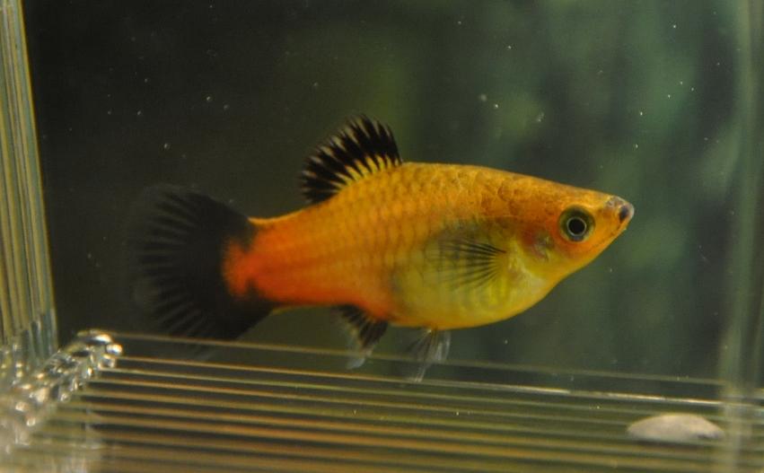 fisk för gravida