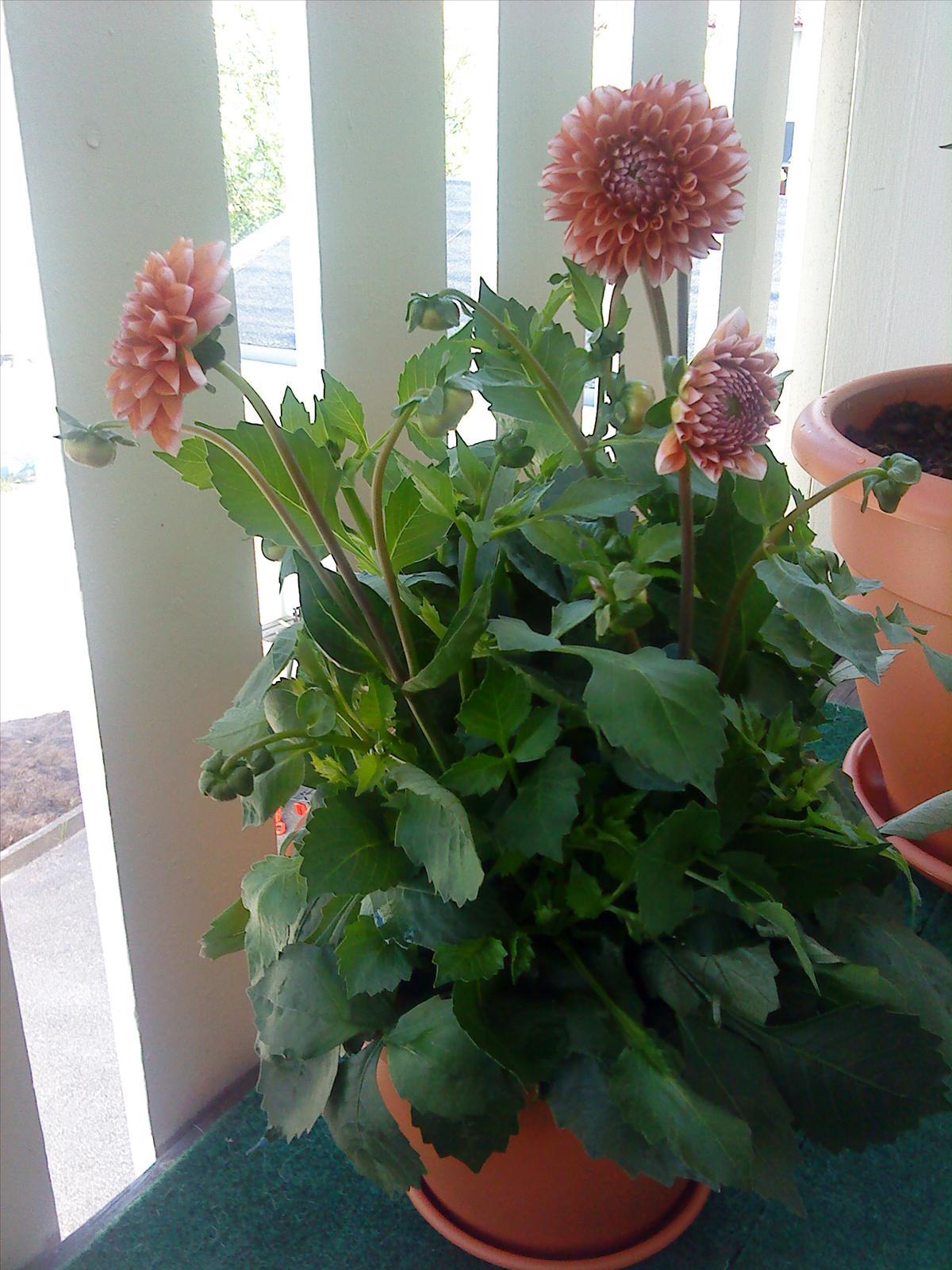 Balkong trädgård   krukväxter, utomhus och inomhus   trädgård ifokus
