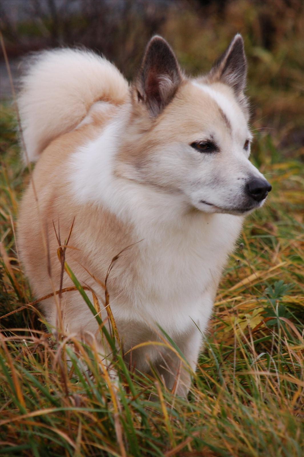 isländsk fårhund