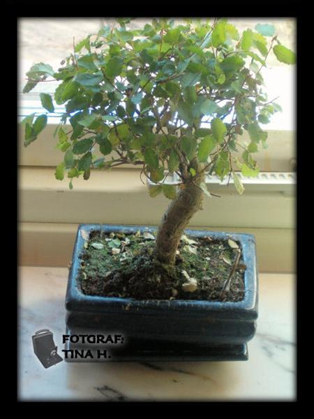 Bonsai inomhus
