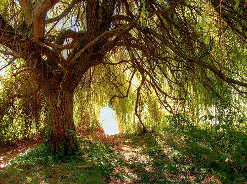 Hängande pilträd