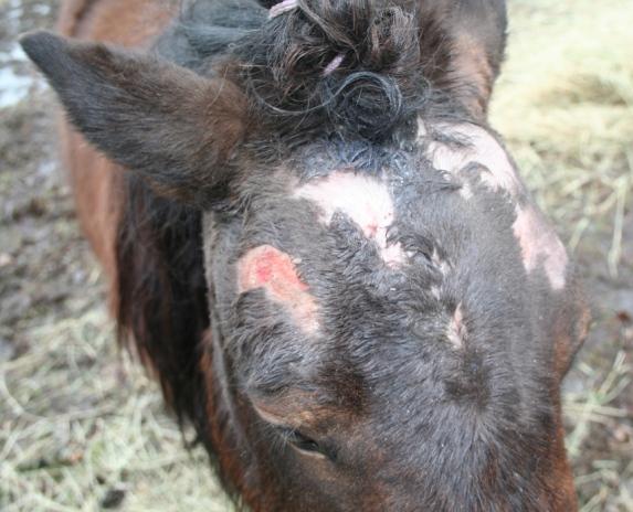 Skabb häst behandling