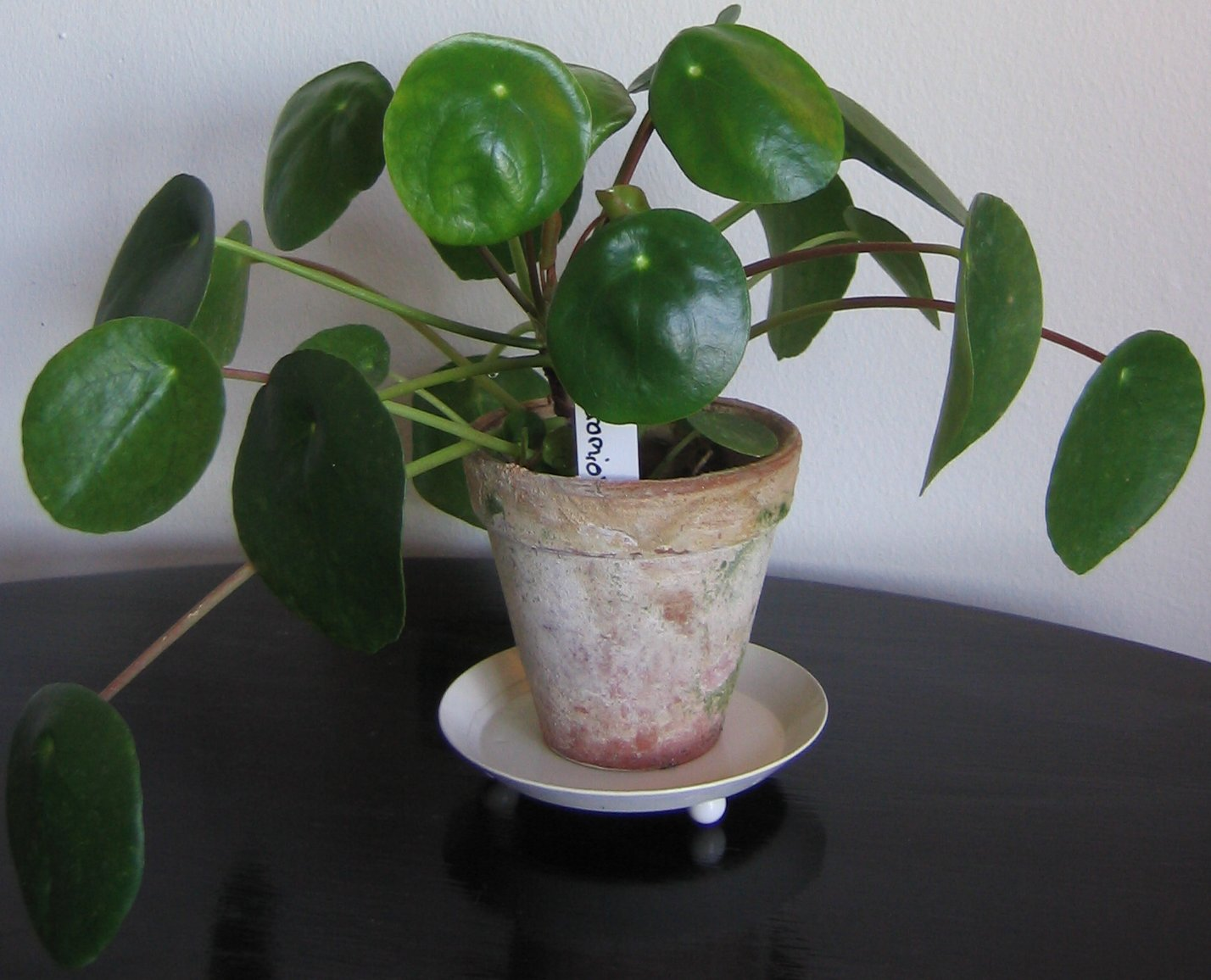 Sk tselr d parasollpilea alias elefant ra krukv xter for Easy to take care of indoor plants