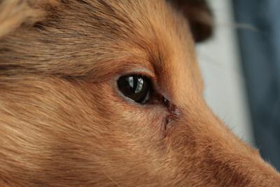 rinnande ögon valp