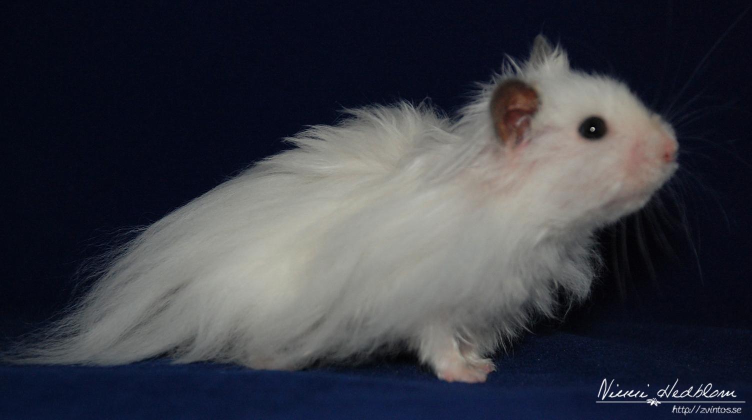 hamster till salu