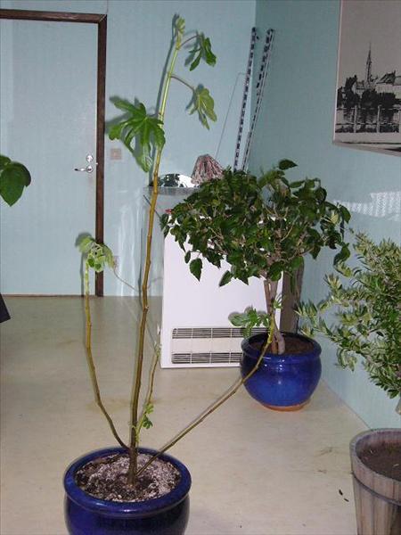 Hur beskära fikonträd