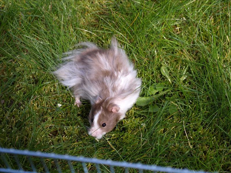 uppfödare hamster västerås