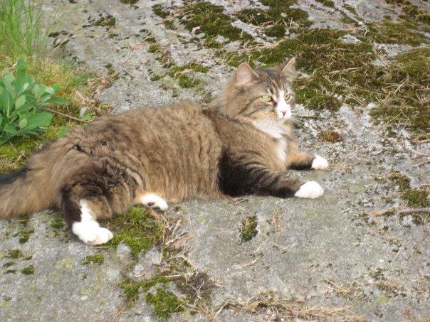 saknade katter borås