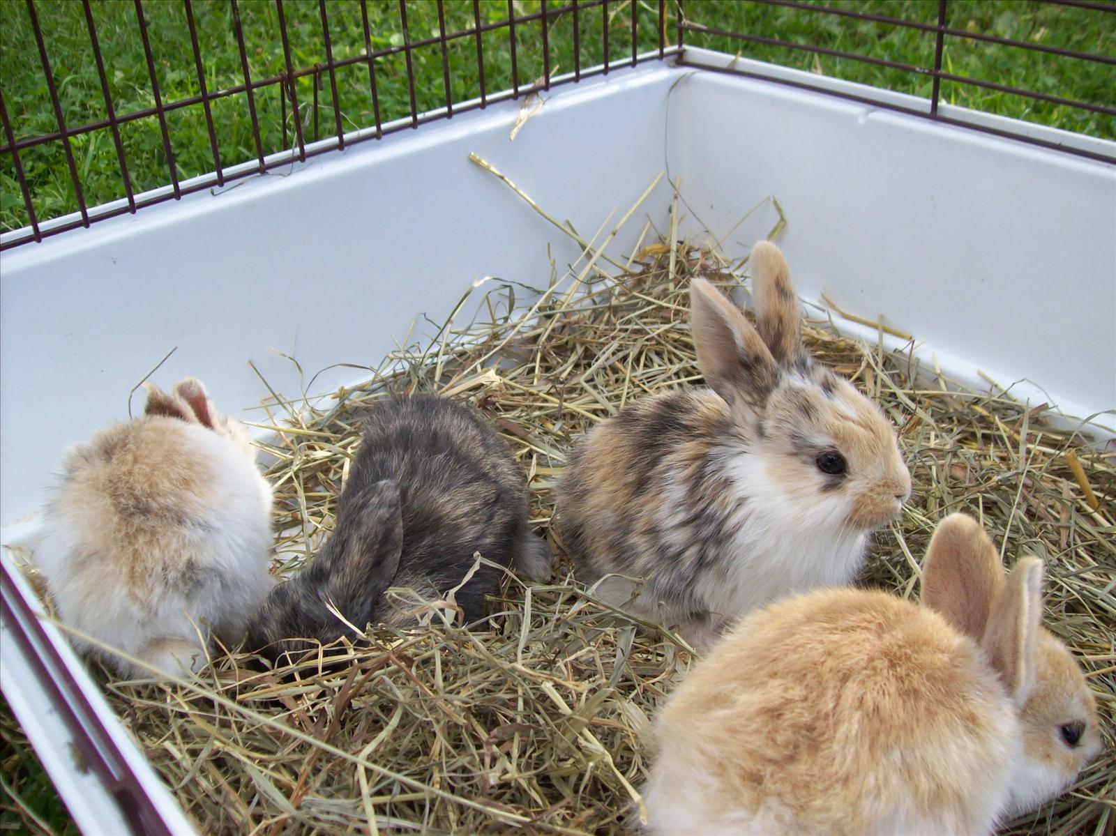 Kaniner till salu Köpes, Säljes& Transport Kanin iFokus
