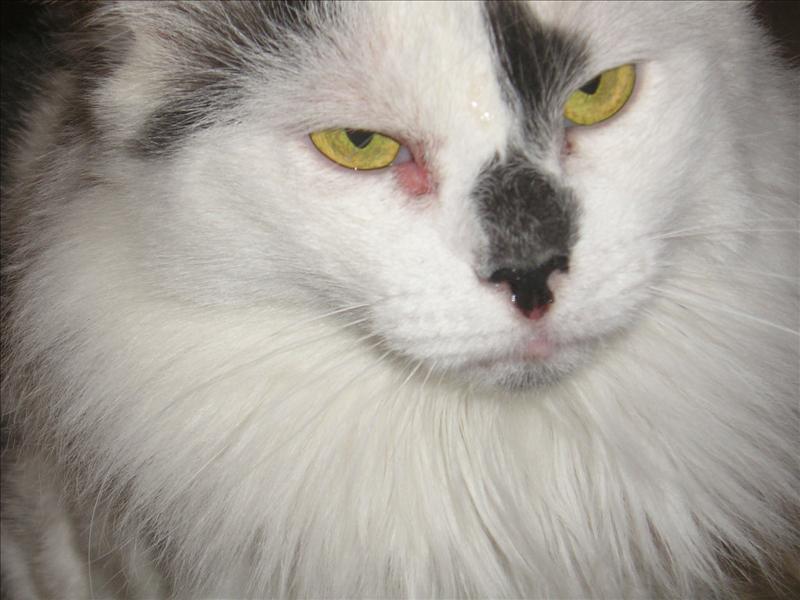 förkyld katt symtom