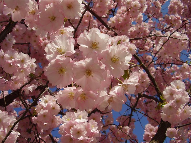 ohyra körsbärsträd