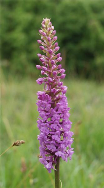 sveriges vanligaste vilda blommor