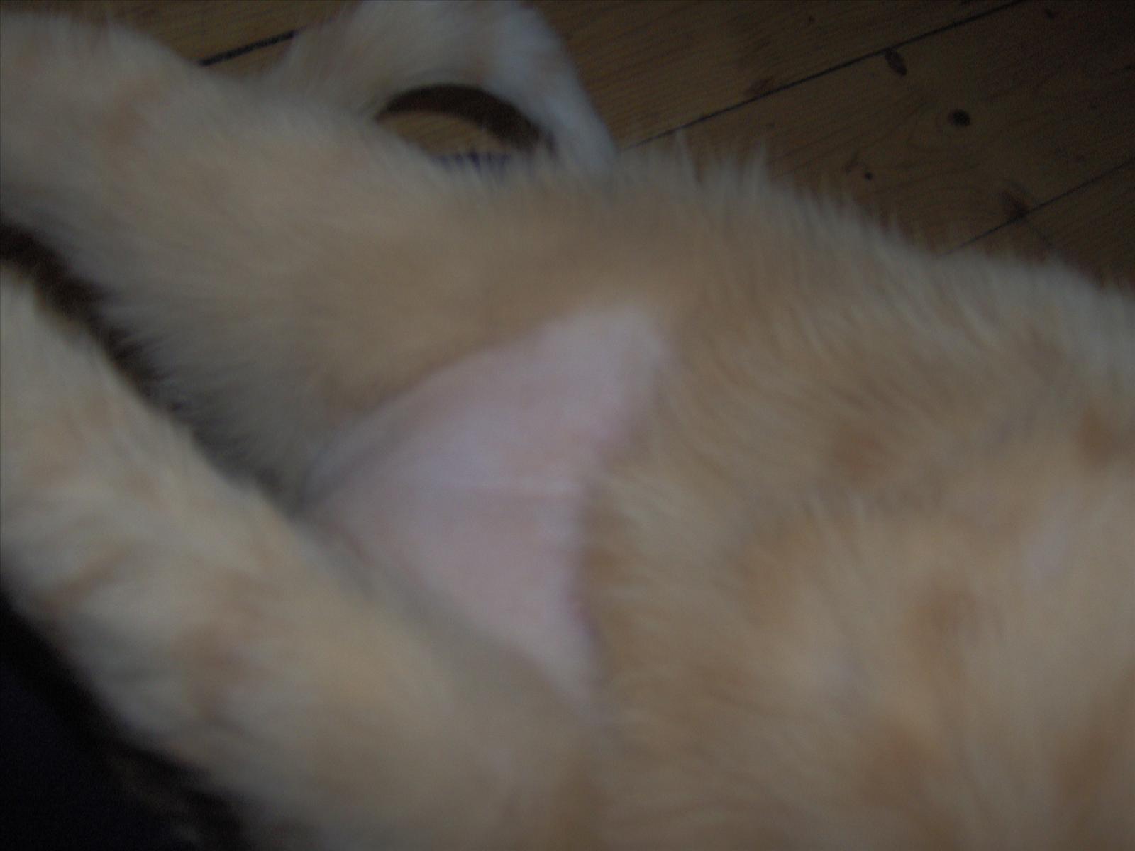 katt tappar hår på magen
