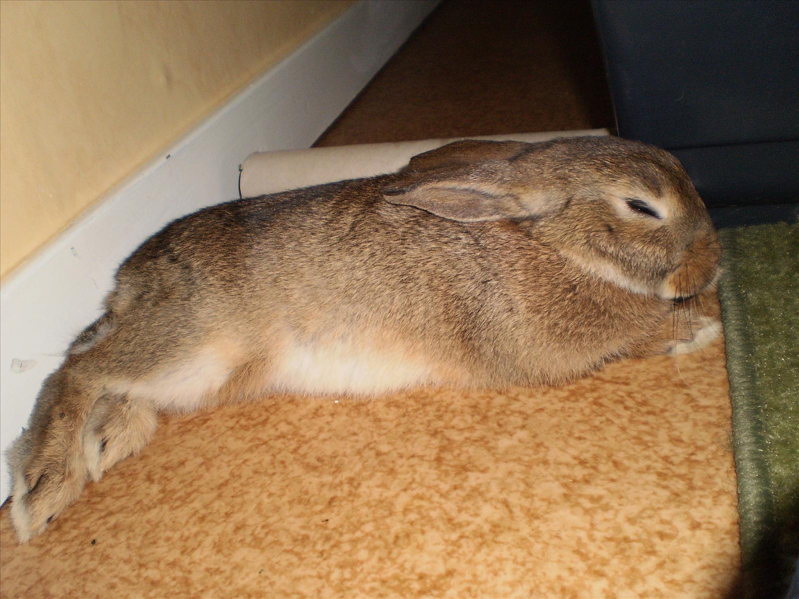 toa lätt till kanin