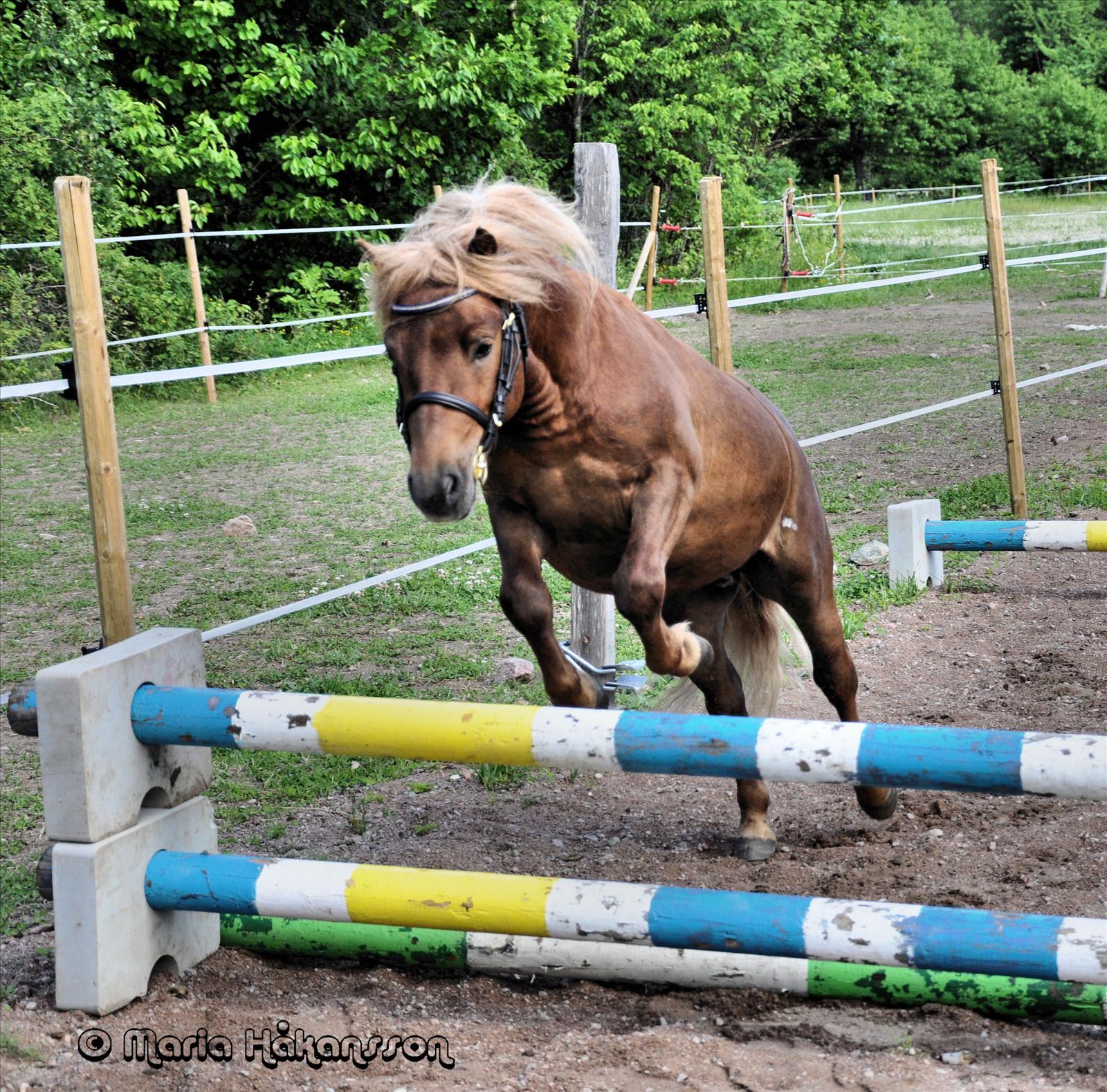 Hästar till salu 23 Säljes Shetlandsponny iFokus