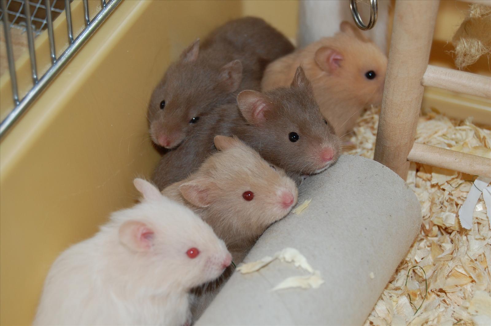 vad äter en hamster